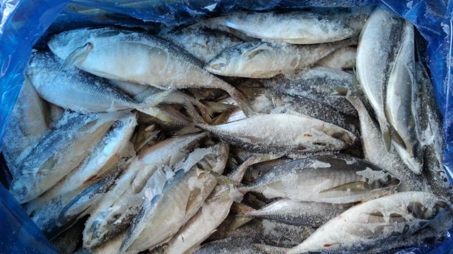 Export frozen horse mackerel mackerel for Does frozen fish go bad