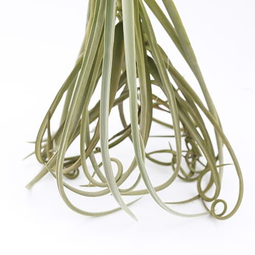 Giant Air Plants Tillandsia _ Duratii _ by Joinflower Joinfolia