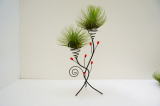 Tillandsia Air Plant Collection - Adreana XL-