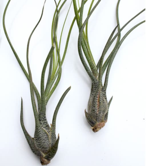 Tillandsia Air Plant Collection - Butzil -