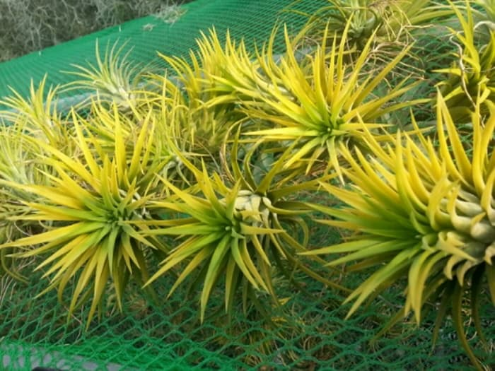 Tillandsia Air Plant - Ionantha Druid XL-