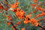 Seabuckthorn berries and powder from FINLAND