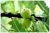 Anti oxidant Emblica Extract Raw Materials