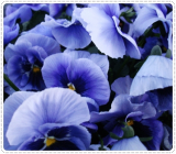 Hair care Butterfly Pea Extract Raw Materials