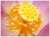 Anti Acne Lotus Stamen Extract Raw Materials