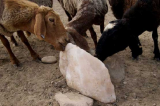 Natural Salt Licks for Animals_ Horse Licking Salt