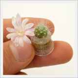 Blooming MINIPLANT