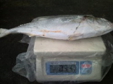 FROZEN YELLOW TAIL WHOLE ROUND