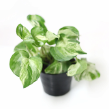 Rare and easy to grow houseplants _ Epipremnum aureum _ by Joinflower Joinfolila_