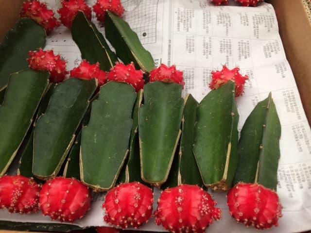 grafted cactus  gymnocalycium mihanovichii hibotan  hylocereus, Natural flower