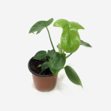 Philodendron Laciniatum _ Houseplants or Indoorplants