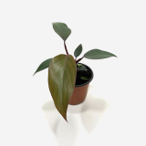 Philodendron Royal Queen _ Houseplants or Indoorplants