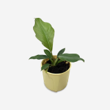 Philodendron Pluto _ Houseplants or Indoorplants