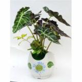 Blooming Alocasia