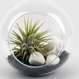 Air Plants Tillandsia Hanging Glass Terrarium Set__ Black Sea _ by Joinflower Joinfolia
