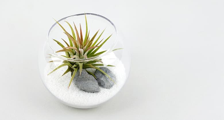 Tillandsia Air Plants Terrarium Kit DIY Set With Ionantha