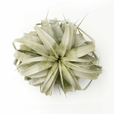 Queen of Tillandsia Airplants _ Xerographica _