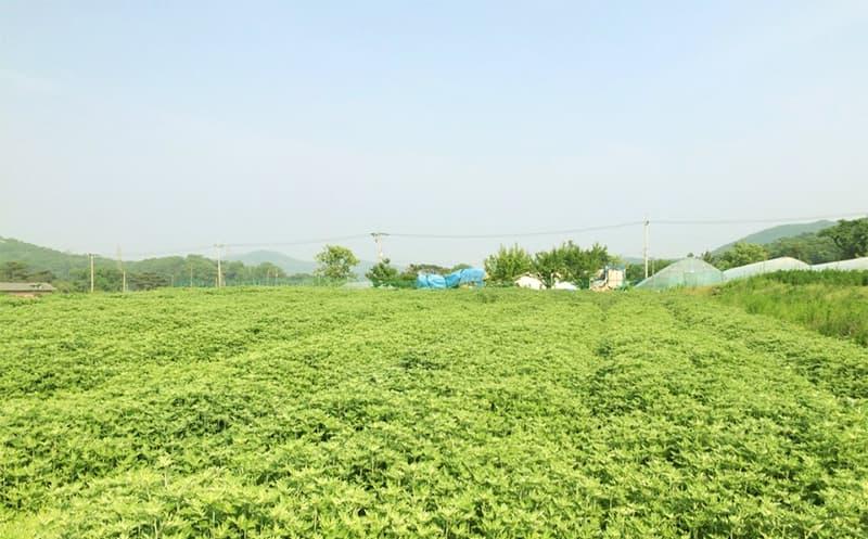 Aedamhyang mugwort Tea | tradekorea