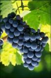 Grape(campbell early, Kyoho)