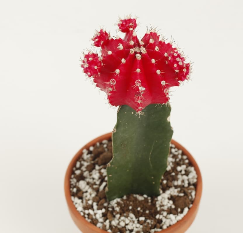 mini grafted cacti from joinflower co., ltd., south korea manufacturer, Natural flower