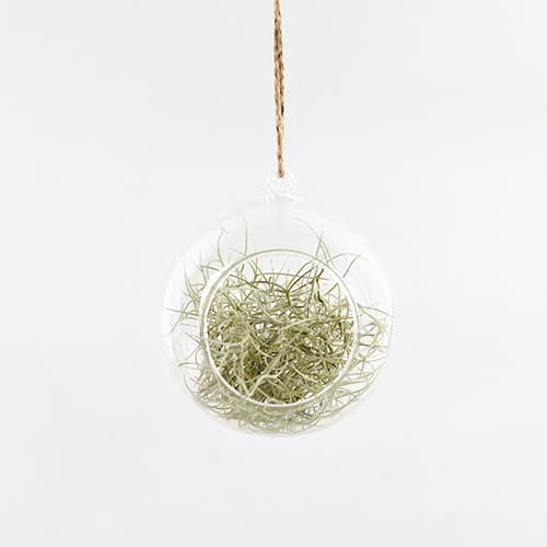 Air Plants Tillandsia Terrarium Set _ Glass Globe Spanish Moss _ by Joinflower Joinfolia