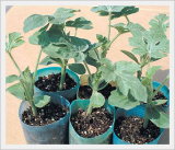 Root Stock Seeds