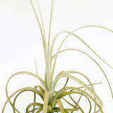 Unusual air plant _ Exserta _ by joinflower joinfolia