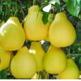 Skin care_ Korean Citron oil