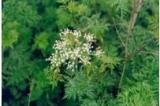 Ligusticum wallichii essential oil