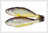 Chuja Yellow Corvina