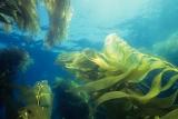 seaweed(algae)
