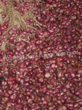 Shallot _ Red Onion