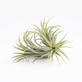 Tillandsia Air Plants _ Ionantha Ionantha _ Joinflower