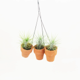 Triple mini terracotta pot tillandsia funckiana set