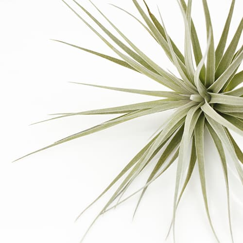 Perfect interior design tillandsia _ Houston _ Joinflower