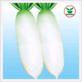 Radish, Korean Big Root