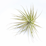 Hybrid cultivar _ Tillandsia Cotton Candy _ by Joinflower Joinfolia
