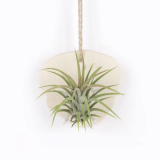 Wall Hanging Natural Wood Planter with Air plants Tillandsia