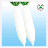 Radish, Improved Korean White Jade