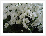 Spray Chrysanthmum