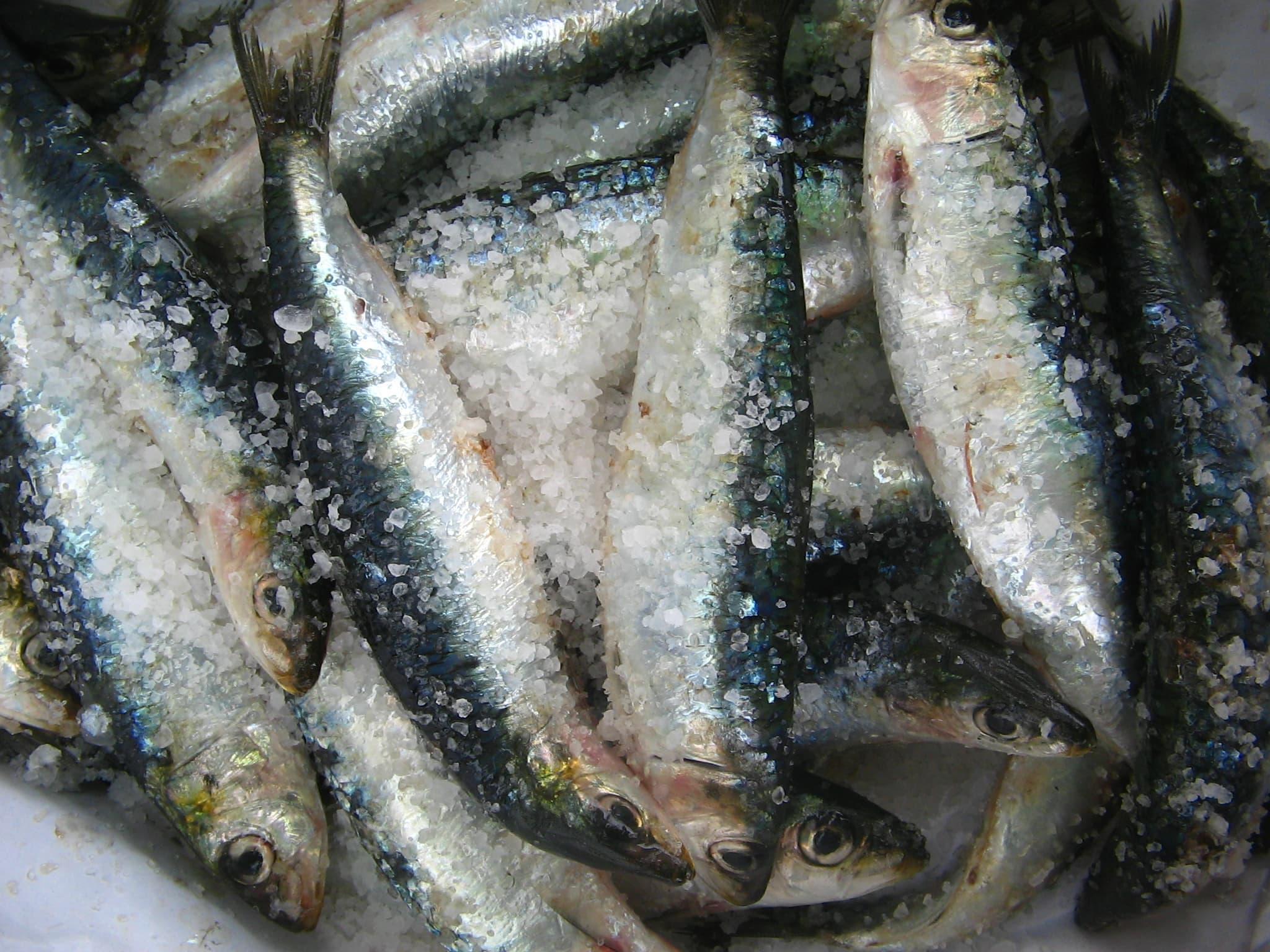 Oscar fish tuna fish mackerel fish sardine from novelty for Best frozen fish