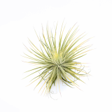 Soft Fuzzy Air Plants_ Magnusiana _ by Joinflower Joinfolia