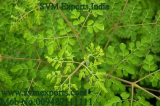 SVM EXPORTS INDIA Moringa Tea_Tea Cut Leaf_