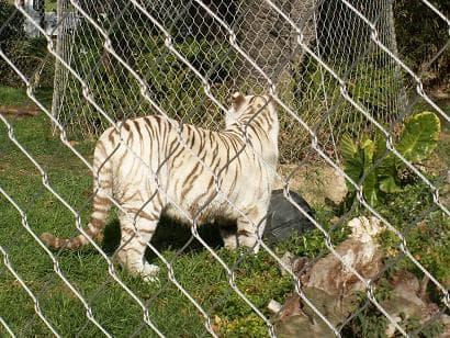 Tiger <strong>enclosure</strong> mesh